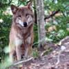Wölfe einst häufig in der Eifel