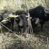 Nachwuchs bei den Wasserbüffeln in Rüber
