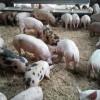 Die Regionalmarke EIFEL zu Gast bei Schweinemästern in der Region